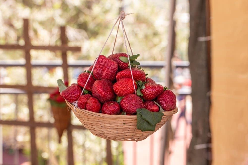 Rote Erdbeeren im hängenden Obstkorb