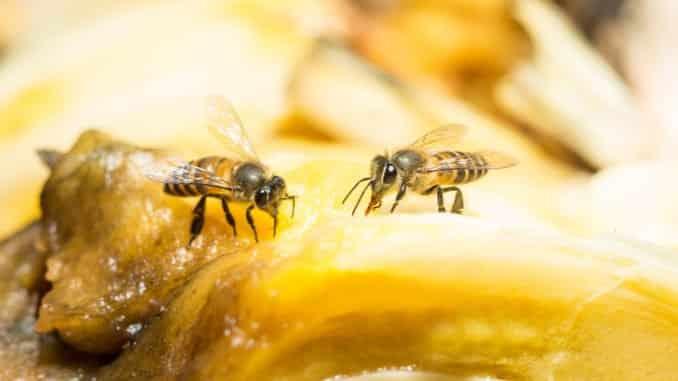 Obstfliegen auf Obst beseitigen