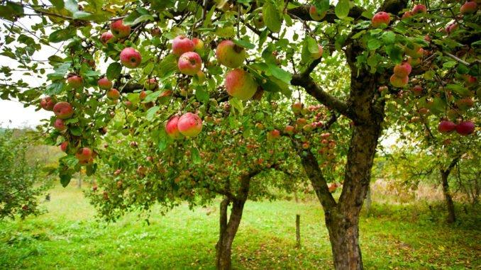 Wiese mit Apfelbäumen