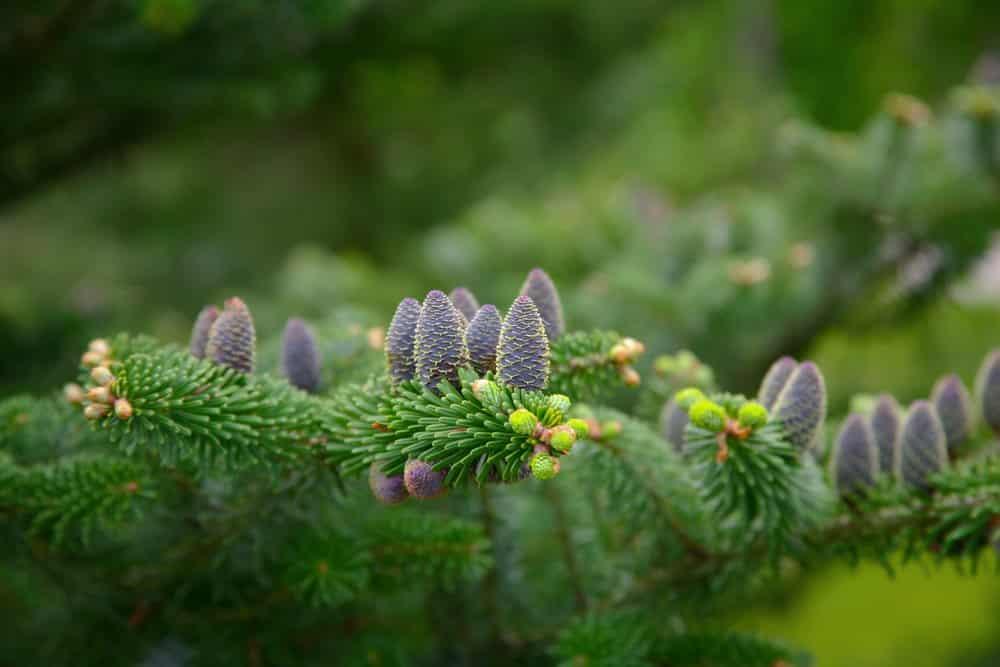 Fichtenzweige hinterlassen häufig Baumharz