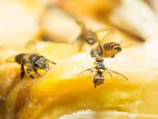 Fruchtfliegen auf Obst sind unappetitlich