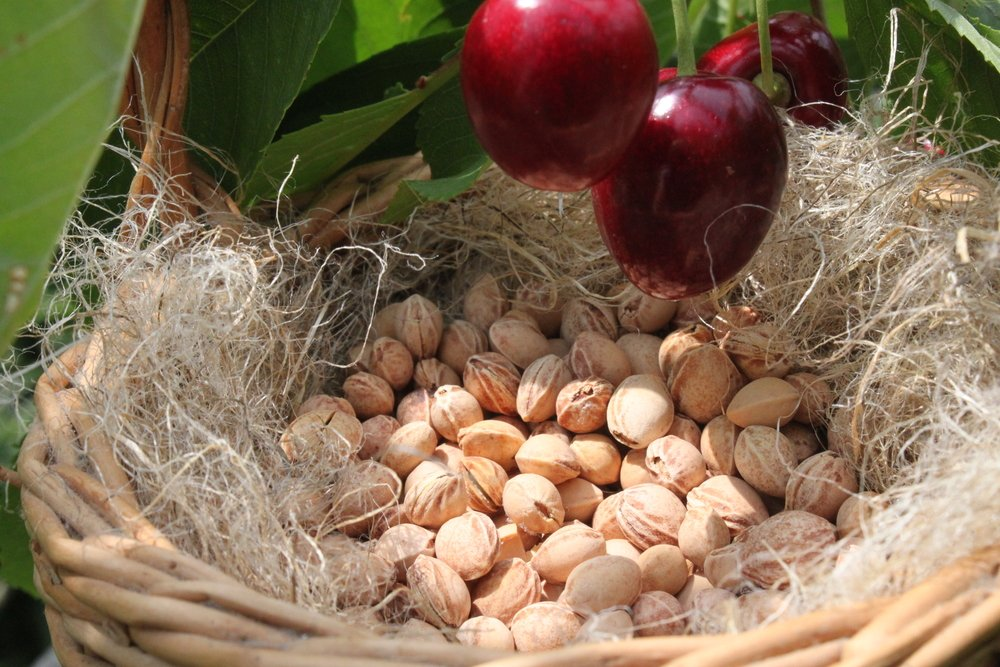 Kirschen und Kerne für dein Kirschkernkissen