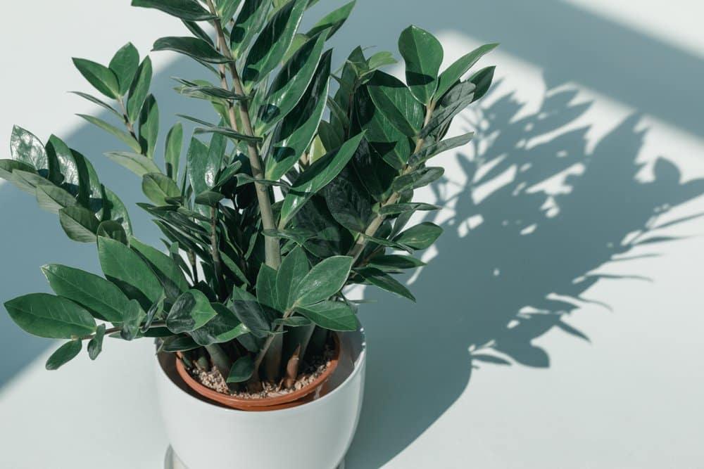 Topfpflanze mit Trauermückenbefall