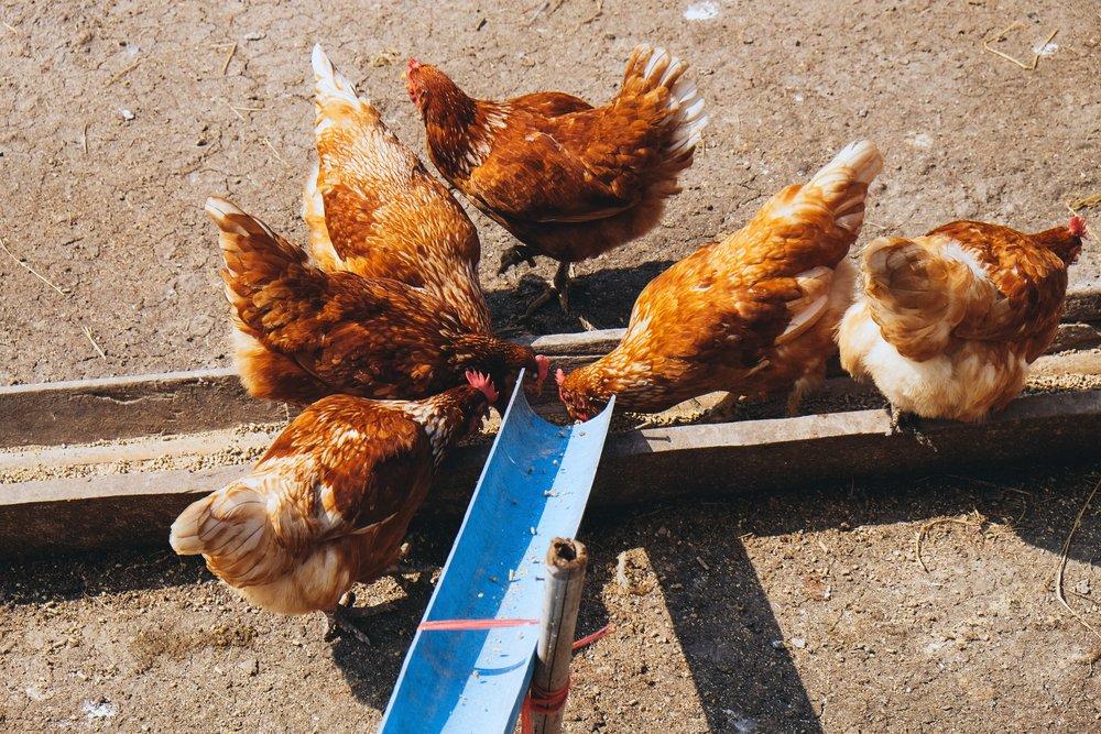 Hühner sind durch elektrische Hühnerklappe nach draußen gelangt